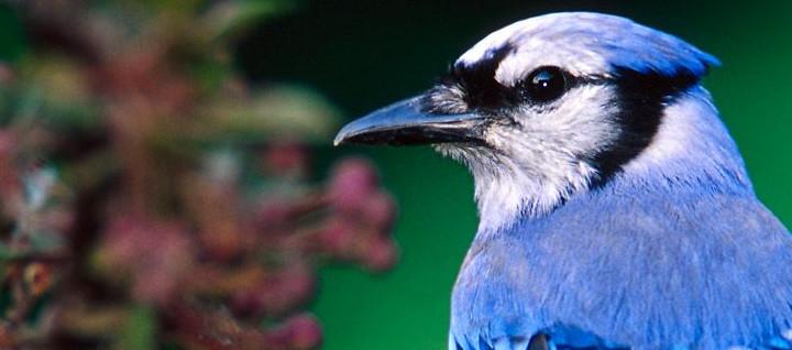 bluebird head