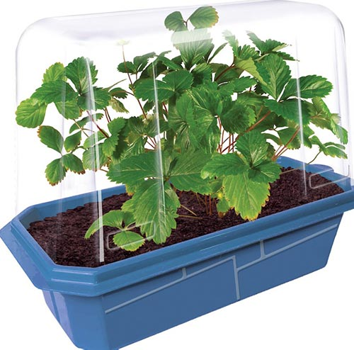 Strawberry Greenhouse Kit