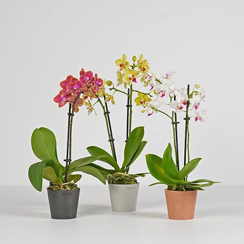 Best 28th Anniversary Gifts: Orchids